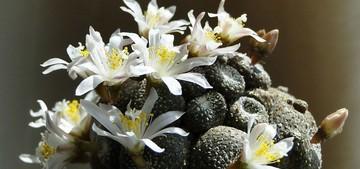 Blossfeldia-liliputana