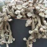 Аустроцилиндропунция булавовидная — Austrocylindropuntia clavarioides