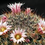 Маммиллярия беловатая — Mammillaria albida / discolor
