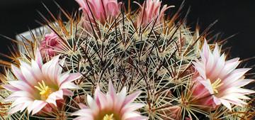 Маммиллярия беловатая - Mammillaria albida / discolor. Уход, описание и фотографии вида кактуса маммиллярия беловатая