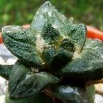 Ариокарпус килевидный — Ariocarpus scaphirostris