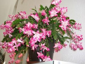 Зигокактус усеченный - Zygocactus truncatus, мир кактусов, уход, фотографии, описание вида