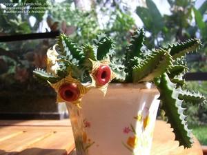Гуэрния Полосатая (Huernia Zebrina)     Стебли 4-5-гранные, длиной 6-8 см, диаметром 2,5 см, зеленые, с мраморным рисунком. Цветки диаметром около 4 см, с широким блестящим коричневым кольцом в центре. Лепестки опушенные, зеленовато-желтые или сернисто-желтые с красно-коричневыми поперечными полосками.