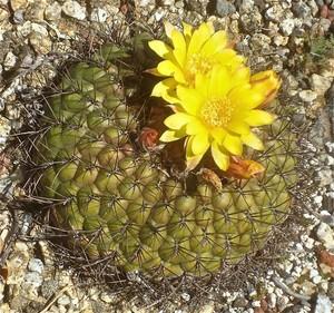 Матукана золотистоцветковая, Matucana aureiflora