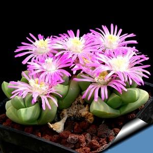 Гиббеум Петрензе (Gibbaeum Petrense)    Один из самых мелких представителей рода. Высота и диаметр пары листьев не превышают 1 см. Листья трехгранные, гладкие, цветки ярко-розовые, диаметром до 2 см.