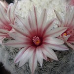 Маммиллярия белоснежная — Mammillaria candida