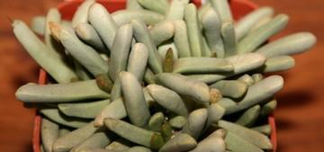 Псаммофора, длиннолистная, Psammophora, longifolia, кактус, фото, описание, уход