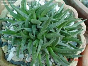 Бергерантус многоголовчатый (Bergeranthus multiceps) листья длиной до 6 см, цветки около 3 см в диаметре.