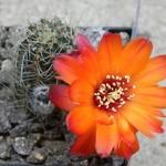 Медиолобивия прекрасноцветущая — Mediolobivia euanthema