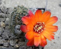 Медиолобивия прекрасноцветущая, Mediolobivia euanthema
