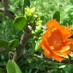 Переския лихнисоцветковая — Pereskia lychnidiflora