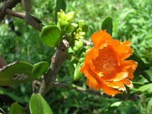 Переския лихнисоцветковая, Pereskia lychnidiflora