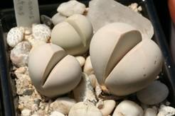 Аргиродерма Яичковилная (Argyroderma Testiculare) Листья синевато-серые или голубовато-зеленые, иногда с мелкими крапинками. Диаметр пары листьев 2,5-3 см. Цветки, как правило, желтые, диаметром около 4 см.