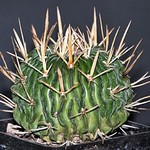 Эхинофоссулокактус поднимающий — Echinofossulocactus arrigens