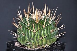 Кактус Эхинофоссулокактус поднимающий - Echinofossulocactus arrigens, описание и фото