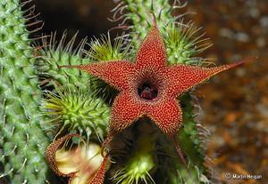 Гуэрния Волосистая (Huernia Pilansii)     Стебли многогранные (20-24 граней) высотой 2-4 см, диаметром 1,5-2,0 см. Листья расположены на стебле спиральными рядами, с бородавками, которые заканчиваются тонкими волосками. Цветки колокольчатые, отогнутые назад лепестки длиной около 1 см, снаружи голые, внутри с красноватыми сосочками и бледно-желтыми пятнышками.