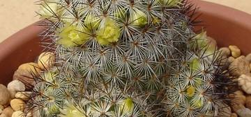 Маммиллярия солнышковая, Mammillaria microhelia