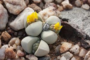 Аргиродерма Делаэта (Argyroderma Delaetii)     Диаметр пары листьев 1-2 см. Окраска цветков сильно варьирует. Они могут быть пурпурными, белыми и даже желтыми. Вид назван по имени голландского торговца кактусами Ф. Делаэта.
