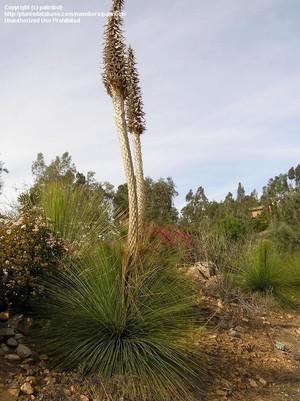 Цветение Дазилирион длиннейший (Dasylirion longissimum)