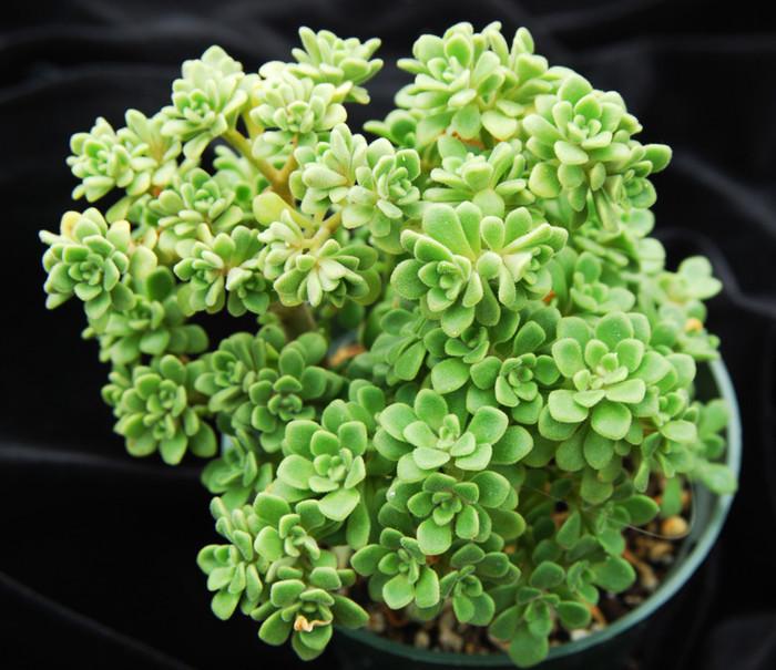 Аихризон (Aichryson, сем. Толстянковые), еще называют «Дерево любви», объединяет 15 видов травянистых растений и невысоких полукустарников, обитающих на Канарских и Азорских островах, Мадейре и в Марокко. Название рода происходит от греческих слов аi - «всегда» и chrysos - «золотой». Растения очень сильно ветвятся, и многие из них напоминают миниатюрные деревца.