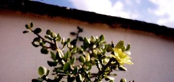 Перескиопсис бархатистый, Pereskiopsis diguetii / velutina