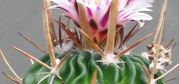 Кактус Стенокактус поднимающий - Stenocactus arrigens / crispatus, описание и фото