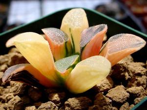 Цветные кактусы встречаются также в природе, это так называемые бесхлорофилльные виды, некоторые из них могут существовать самостоятельно.