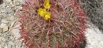 Кактус Ферокактус цилиндрический - Ferocactus cylindraceus / acanthoides, описание и фото
