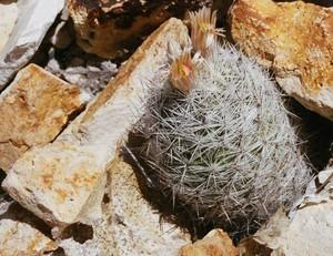 Кактус Эхиномастус марипосский - Echinomastus mariposensis, описание и фото