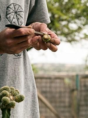 Приготовление черенков кактуса