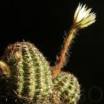 Пигмеоцереус — Pygmaeocereus bieblii var. kuehhasii