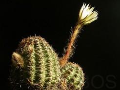 Пигмеоцереус, Pygmaeocereus bieblii var. kuehhasii