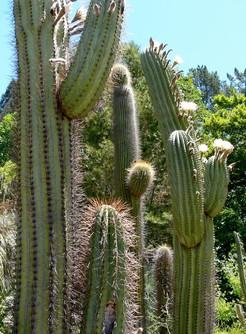 Кактус Эхинопсис тершеки - Echinopsis terscheckii, описание и фото