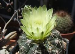 gymnocalycium_schroederianum_subsp._boessii