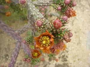 Кактус Цилиндропунция разноцветная - Cylindropuntia versicolor, описание и фото