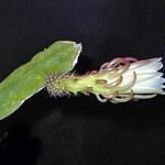 Cryptocereus / Weberocereus rosei