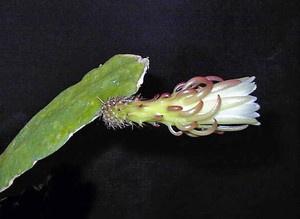 Cryptocereus, Weberocereus rosei, описание, фото