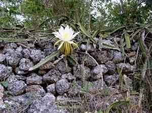 Гилоцереус треугольный - Hylocereus triangularis, описание и фото кактуса