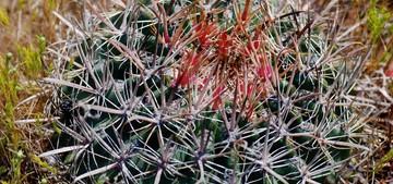 Кактус Ферокактус зеленеющий - Ferocactus viridescens, описание и фото