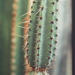 Арматоцереус Гесбрехта — Armatocereus Cereus ghiesbreghtii