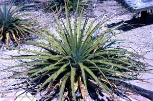 Гехтия Техасская (Hechtia Texensis)    Гехтия Техасская. Листья зеленые, или серо-зеленые, по краю немного выемчатые, с редкими колючкам. Это растение обликом чрезвычайно похоже на агаву, образует розетку листьев диаметром до 50 см.