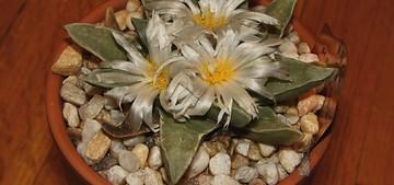 Ariocarpus-retusus1