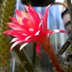 Апорокактус Концатти — Aporocactus conzattii