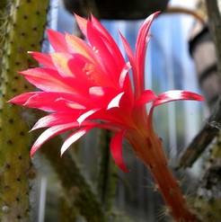 Aporocactus-conzattii