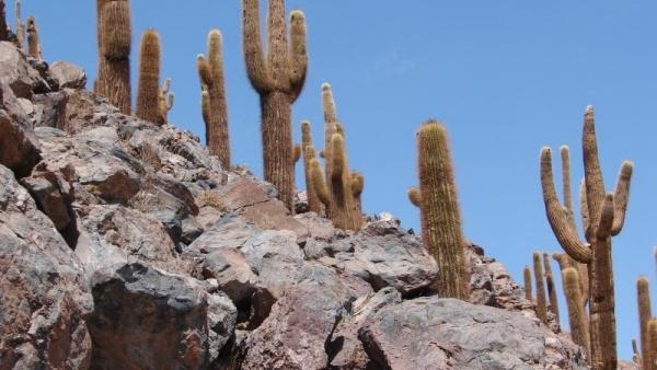 Кактусы в каменистой пустыне могут расти на скалистых уступах, в тех местах где вовсе нет почвы