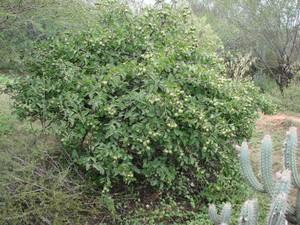 Переския шиповатая, Pereskia aculeata