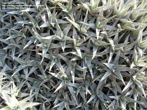 Дейтерокохния Лоренца (Deuterocohnia lorentziana)   листья у этого растения серовато-зеленые, диаметр розетки - 25 см;