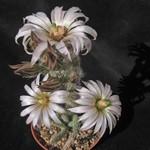 Вилкоксия белоцветковая — Wilcoxia albiflora