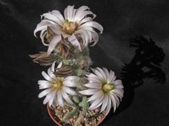 Wilcoxia-albiflora2