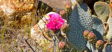 Опунция базальная, Opuntia basilaris